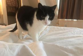 Disappearance alert Cat  Female , 7 years Hilversum Netherlands